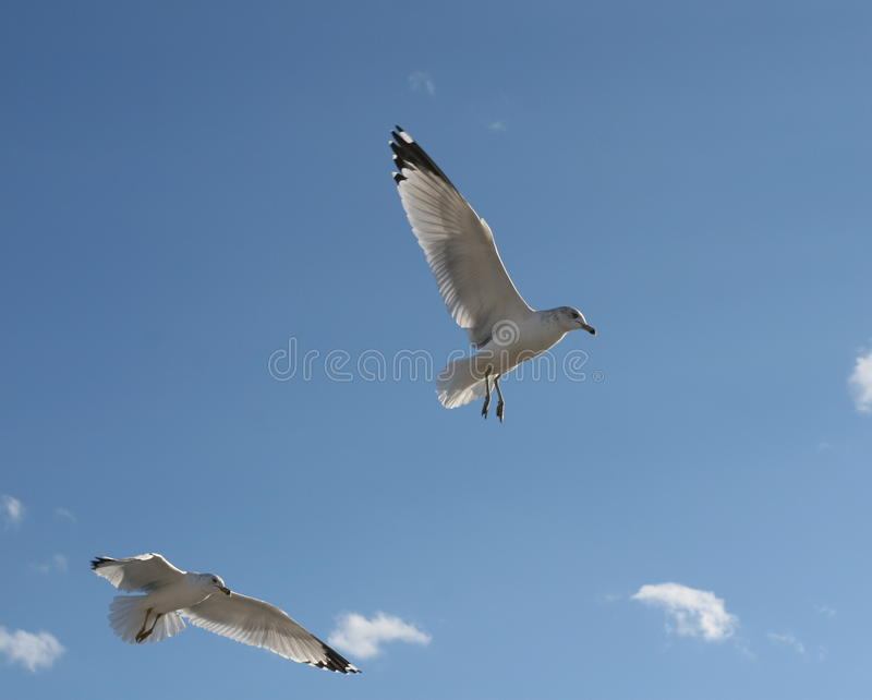 Download Pair Of Seagulls In Blue Sky Stock Photo - Image: 31232034
