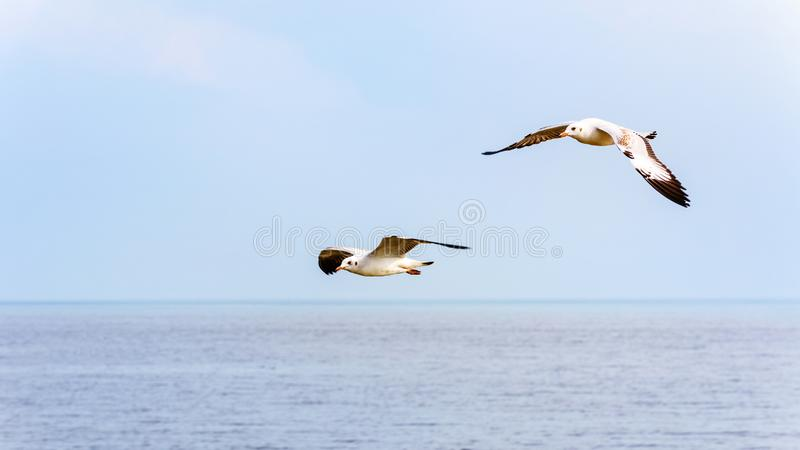 Pair of seagulls happy flying above the sea stock images