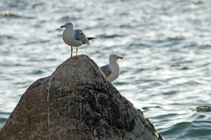 Pair of seagulls on a rock in the sea. stock image