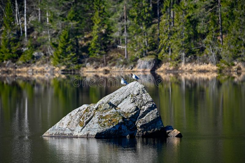 A pair of seagulls standing on a rock stock image