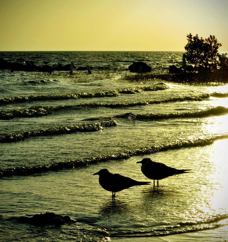 Pair of Seagulls in the Sunset stock photography