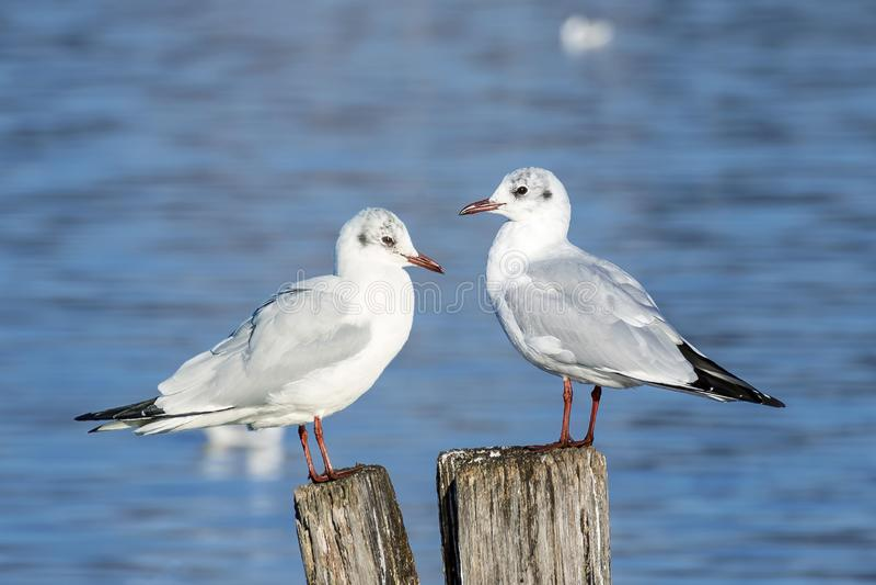 Pair of seagulls on wooden poles rest in the sun on Lake Massaciuccoli, Tuscany, Italy. Europe royalty free stock photos