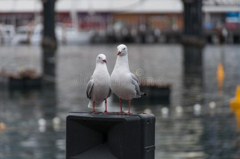 Pair of Silver Gull birds standing on a pole royalty free stock image