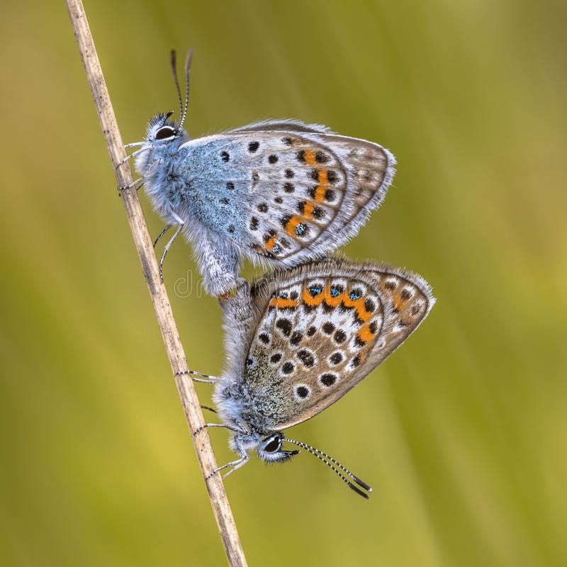 Pair of silver studded blue butterflies mating royalty free stock photos