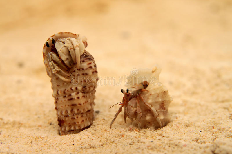 Download Pair of small crabs stock photo. Image of aquatic, animal - 17608124