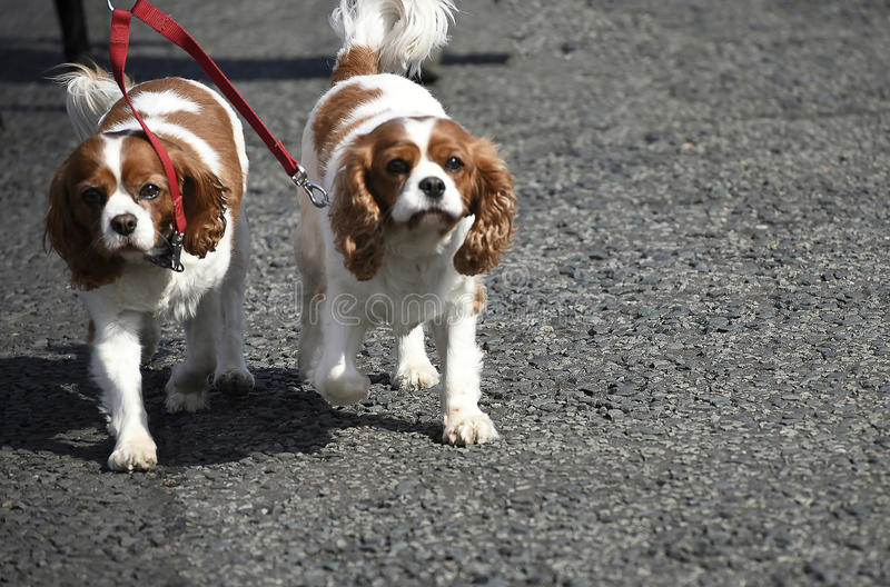 Pair of Spaniels in Burnley Lancashire. Beautiful dogs out for a walk on a path near Burnley in Lancashire England royalty free stock photos