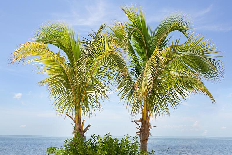 Spindle Palm Trees. A pair of Spindle Palm trees over a blue sky stock photos