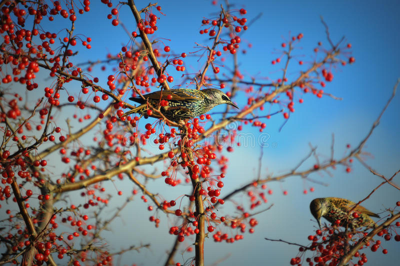 Pair of Starling Birds Surrounded by Red Berries. A pair of Starling Birds sitting in a tree surrounded by red berries. This photo was taken in Lake Geneva, WI stock photo
