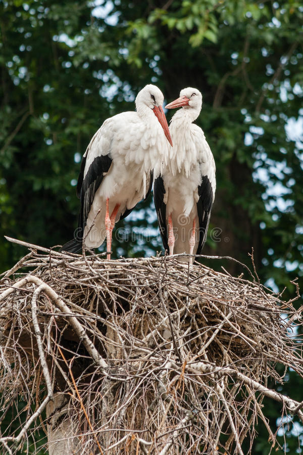 A pair of storks in the nest. Close-up royalty free stock photo