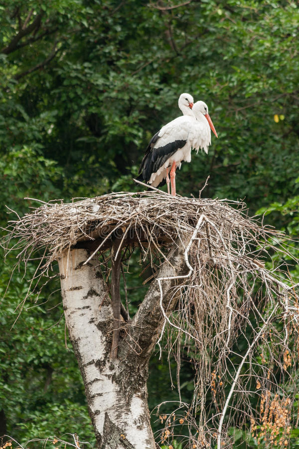 A pair of storks in the nest. Close-up stock images