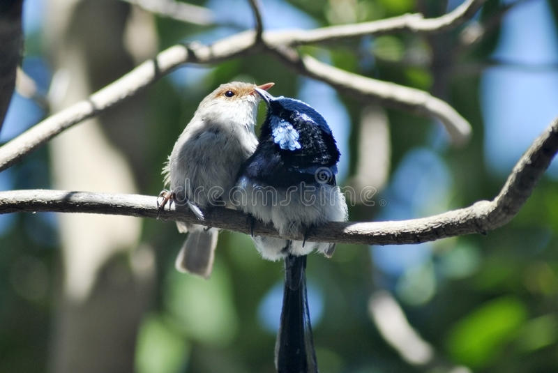 Pair of superb fairy wrens royalty free stock photos