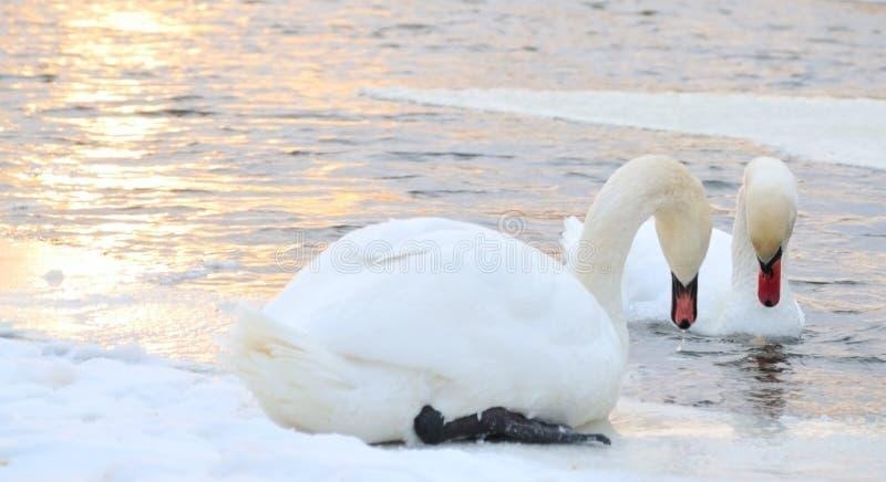 Pair swan royalty free stock images