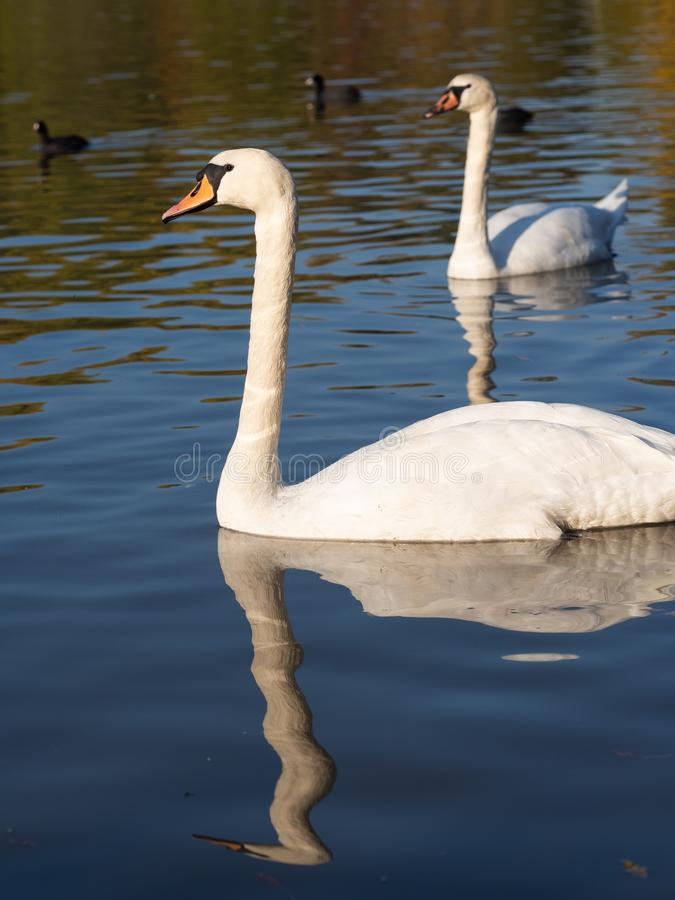 Pair of swan birds in lake in golden evening light. Beautiful swans cygnus olor in lake in the golden evening light stock image