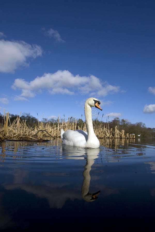 Download A pair of swans a stock photo. Image of great, britain - 11987058
