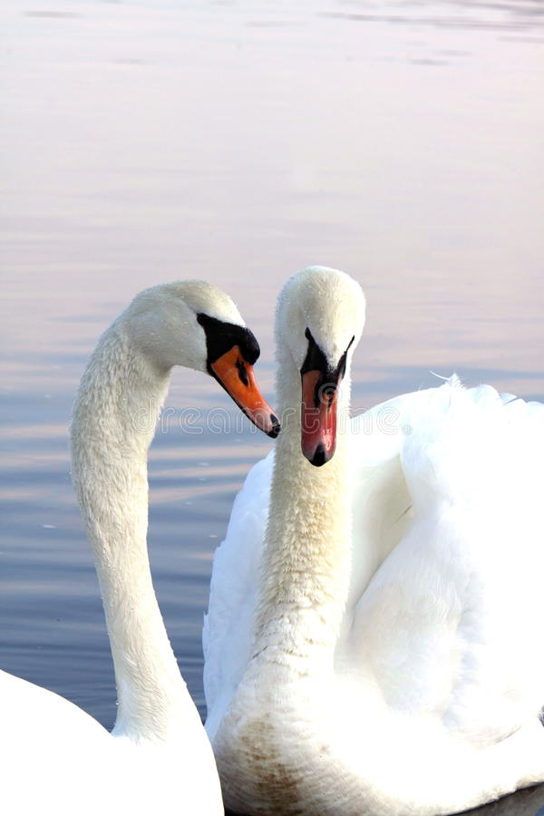 Pair Of Swans Royalty Free Stock Images