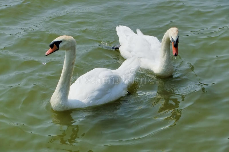 Download Pair of swans stock photo. Image of reflection, animal - 14771772