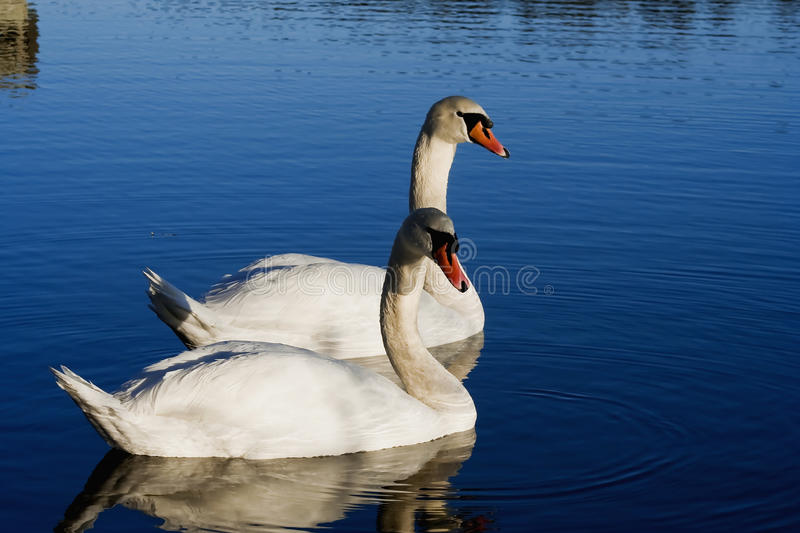 Download Pair of swans stock image. Image of swans, animal, summer - 29084793