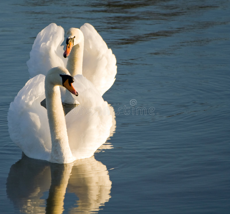 Download A pair of swans stock photo. Image of plural, reflection - 4517664