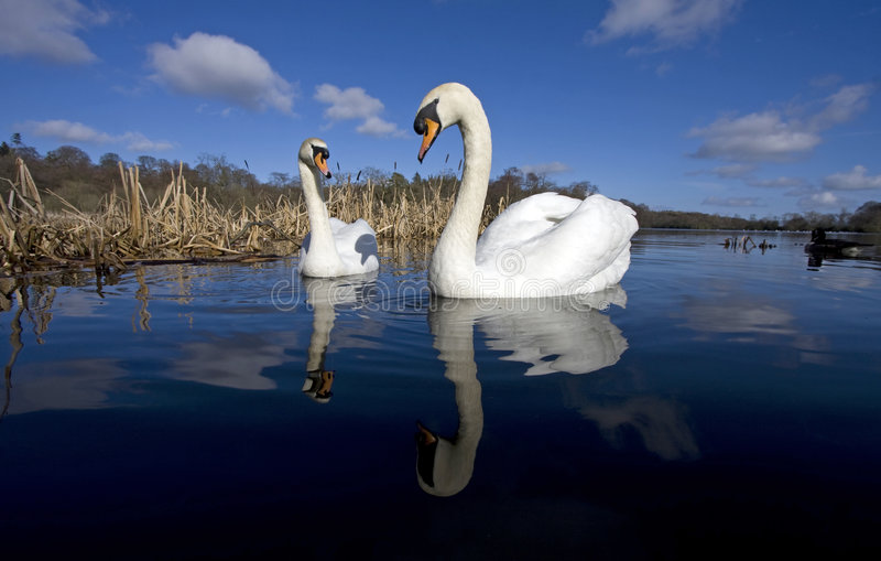 Download A Pair Of Swans Stock Images - Image: 8638324