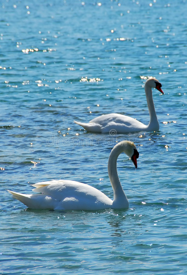 Pair of swans royalty free stock photos