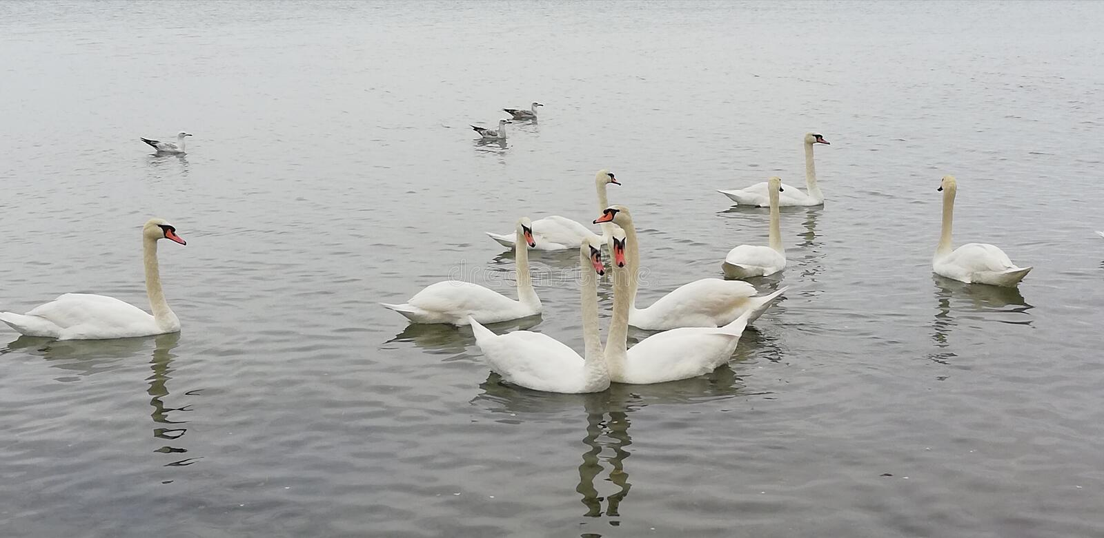 The pair of swans on the background pack graceful birds. Cloudy autumn day. stock photography