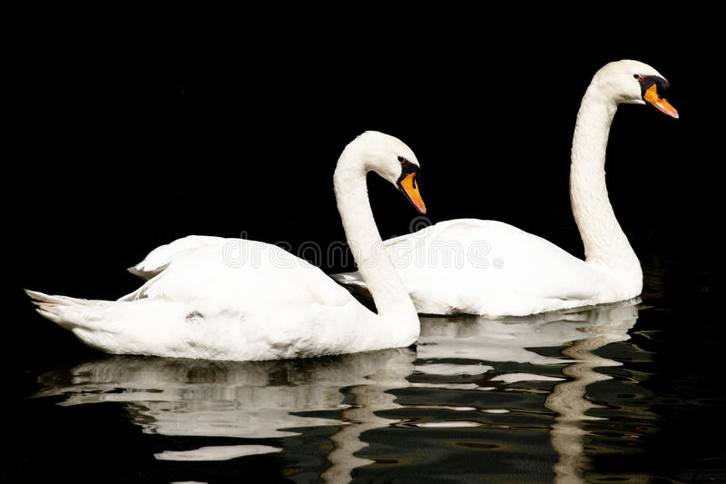 Pair of Swans on Black Background stock photography