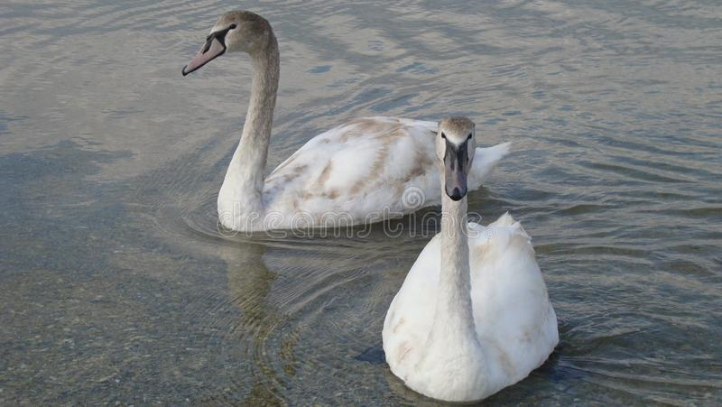 Pair of swans on a crystal clear and tranquil water of the lake close up. A pair of swans on the crystal clear and calm water of the lake near. Swans glide stock image