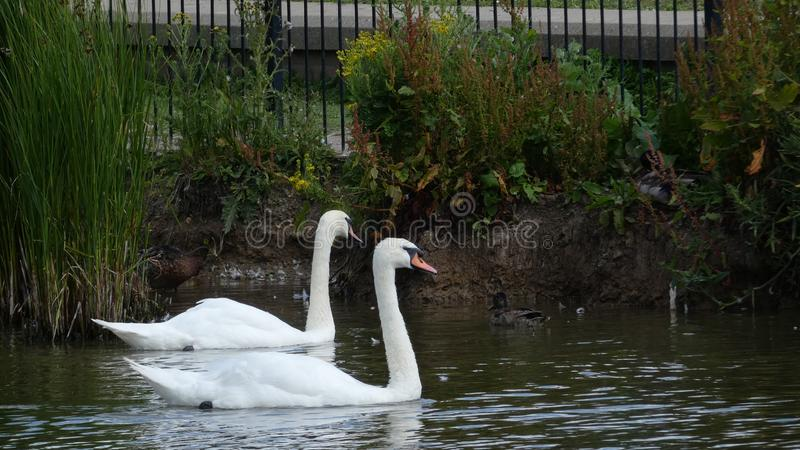 A pair of swans enjoying the sanctuary in love forever 4 stock photos