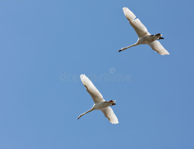 Download А Pair Of Swans Flying In The Blue Sky Stock Photo - Image: 29301190