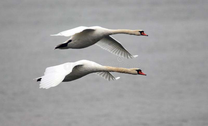 Pair of swans flying royalty free stock photography