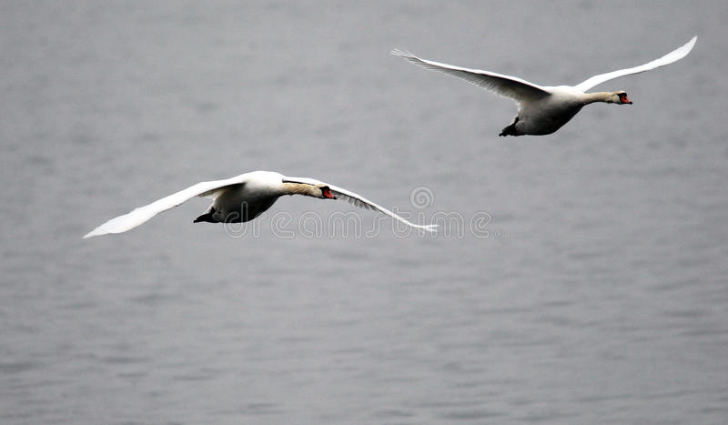 Pair of swans flying stock images