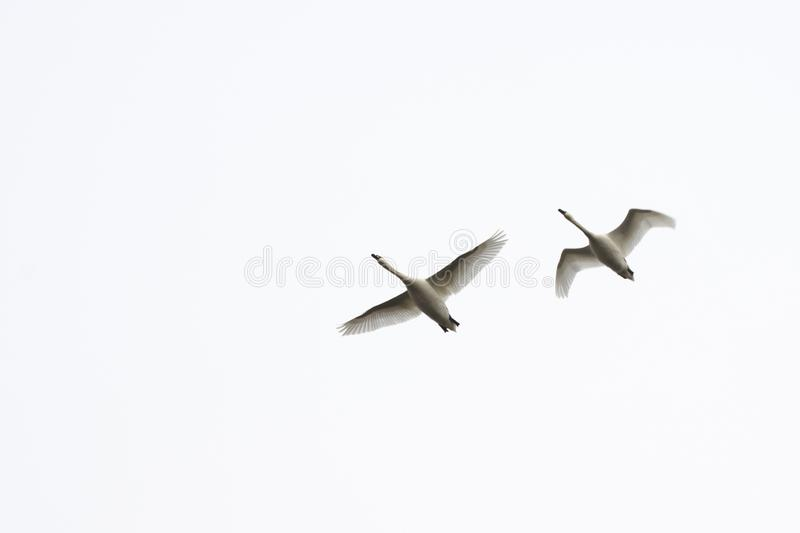 A pair of swans are flying in the sky. Birds on a white background stock image
