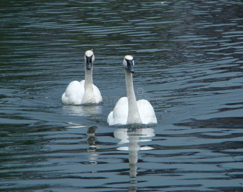 Pair swans of trumpeters (Cygnus buccinator) float royalty free stock image