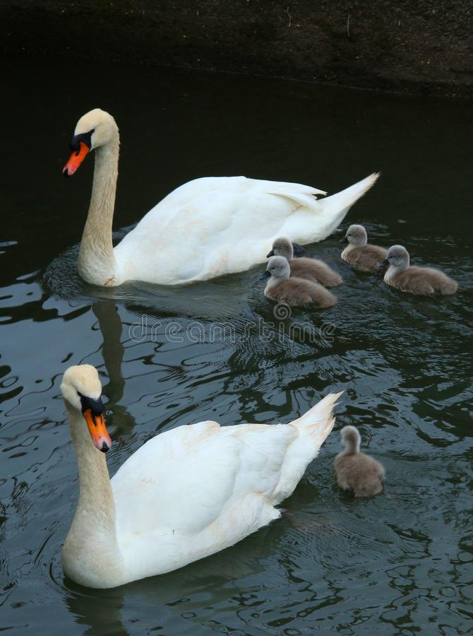 A pair of swans with young. A study of a pair of swans with young or cygnets stock photography