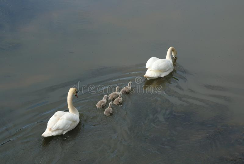 A pair of swans with young. A study of a swan with young or cygnets stock photos