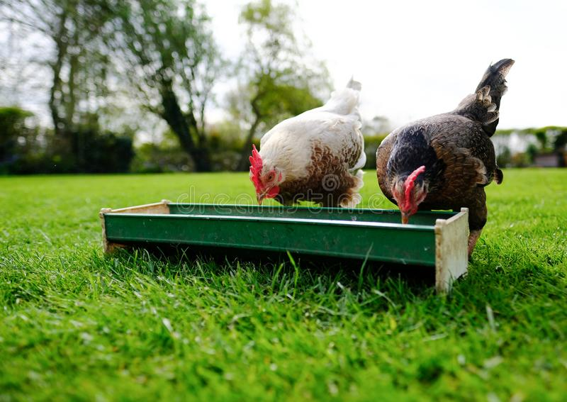 Pair of tame bantam hens seen feeding out of a food trough in a garden. stock image