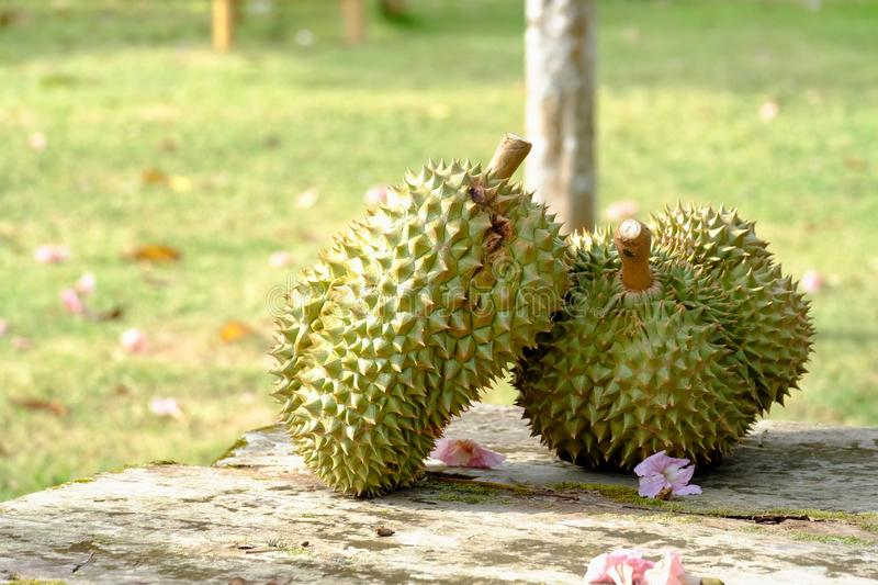 A pair of Thai Durian fruits on an old wooden table in outdoor place with blur green garden background royalty free stock image