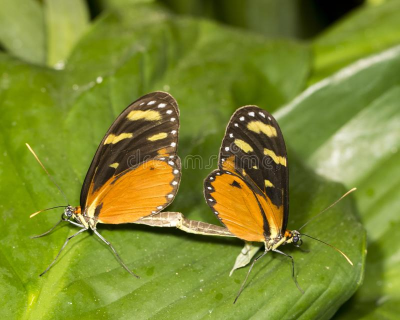 Pair of tiger longwing butterflies mating stock photography