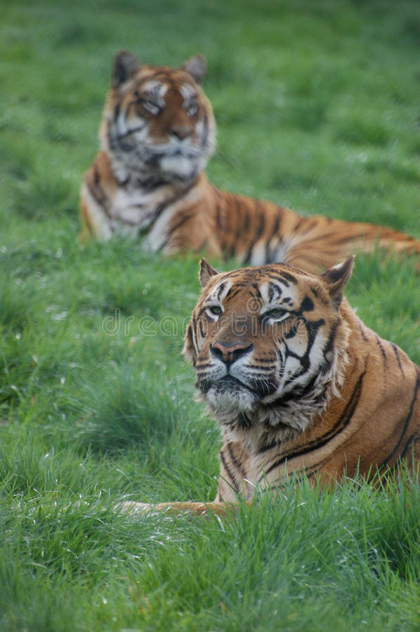 Pair of tigers stock image