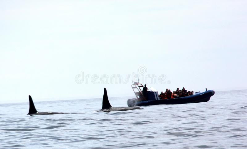 Pair of Transient Biggs Orca Whales royalty free stock photography