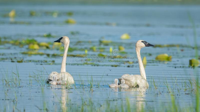 A pair of trumpeter swan parents on a beautiful sunny spring  day - with their cute baby cygnets - taken in the Crex Meadows Wildl royalty free stock image