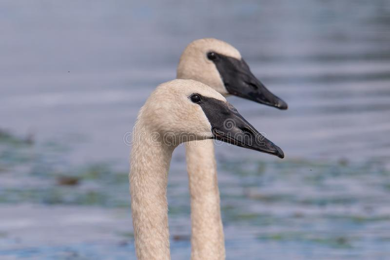 A pair of trumpeter swans on a beautiful summer`s day - taken in the Crex Meadows Wildlife Area in Northern Wisconsin royalty free stock photo