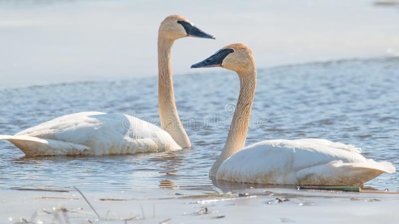 A pair of trumpeter swans on a beautiful sunny spring / late winter day - taken in the Crex Meadows Wildlife Area in Northern Wisc stock photography