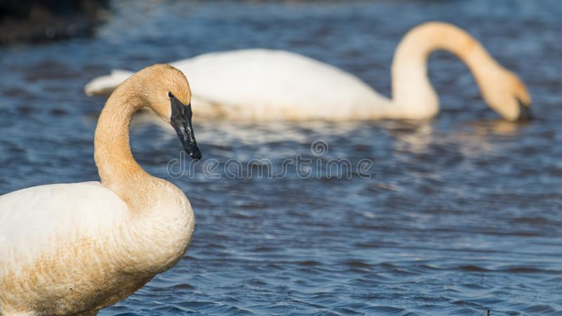 A pair of trumpeter swans on a beautiful sunny spring / late winter day - taken in the Crex Meadows Wildlife Area in Northern Wisc royalty free stock images