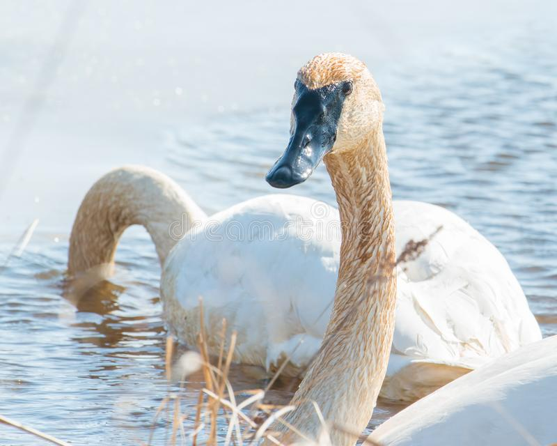 A pair of trumpeter swans with detail of beautiful plumage, eye, and beak - in early Spring during migration - taken in the Crex M. Eadows Wildlife Area in stock photos