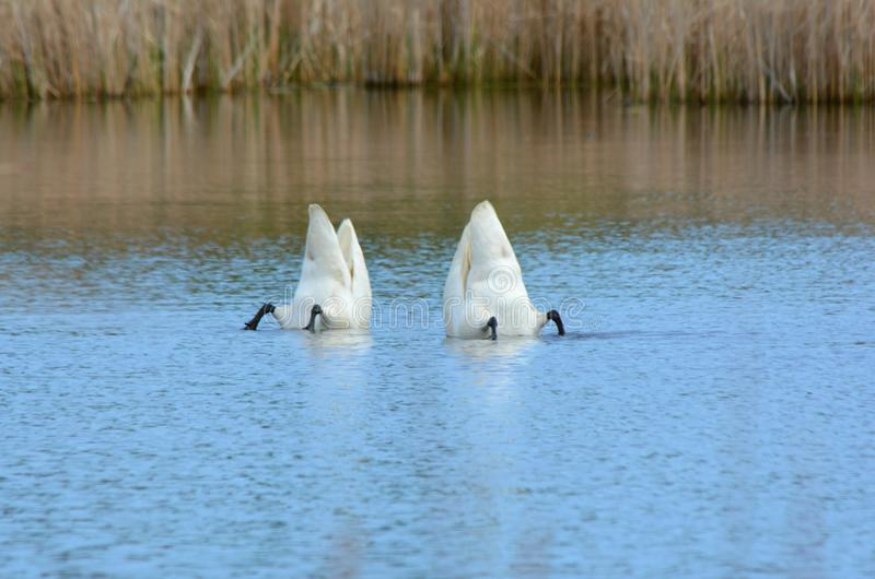 Pair Of Trumpeter Swans Feeding In Pond royalty free stock photography