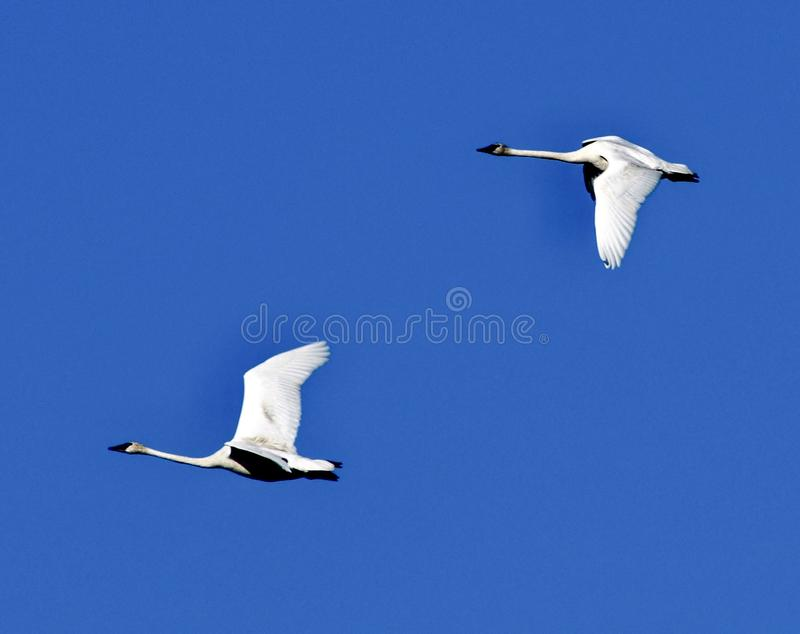 A Pair of Trumpeter Swans in Flight  2 royalty free stock photos