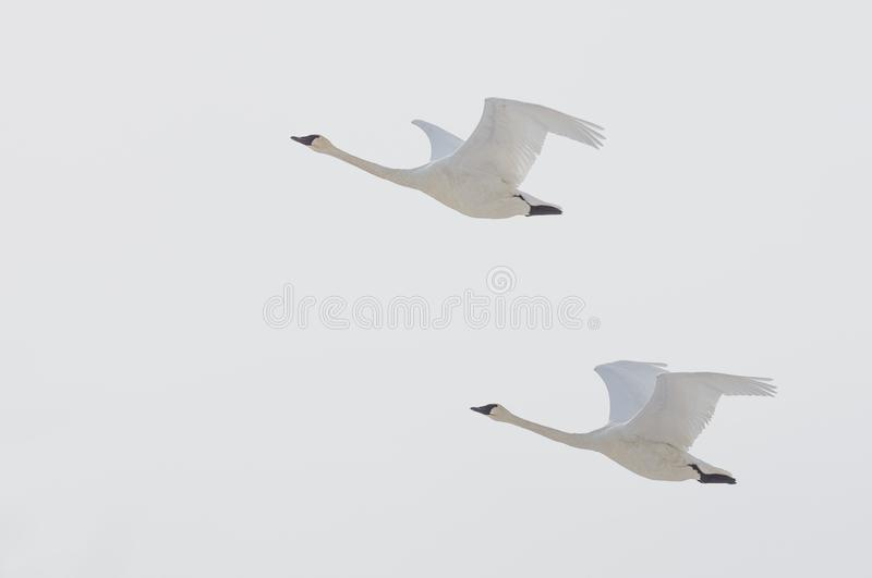 Pair of trumpeter swans flying on an overcast winter`s day over the Minnesota River in the Minnesota Valley National Wildlife Ref royalty free stock images