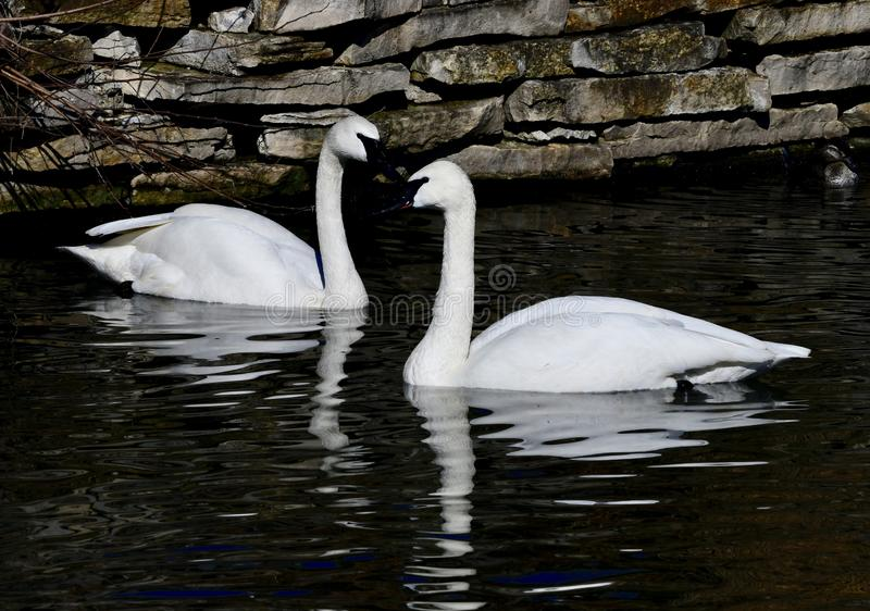 A Pair Of Trumpeter Swans stock photo