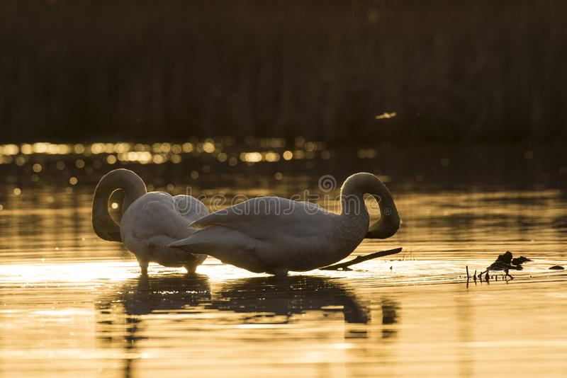 A pair of Trumpeter Swans at sunset royalty free stock images